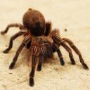 Icon for Especies de arañas