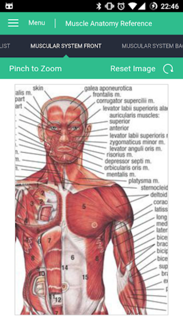 Muscle Anatomy Reference Guide screenshot 2