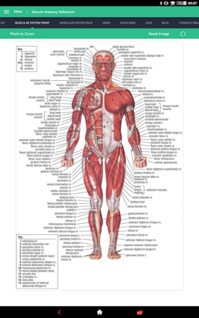 Muscle Anatomy Reference Guide screenshot 9