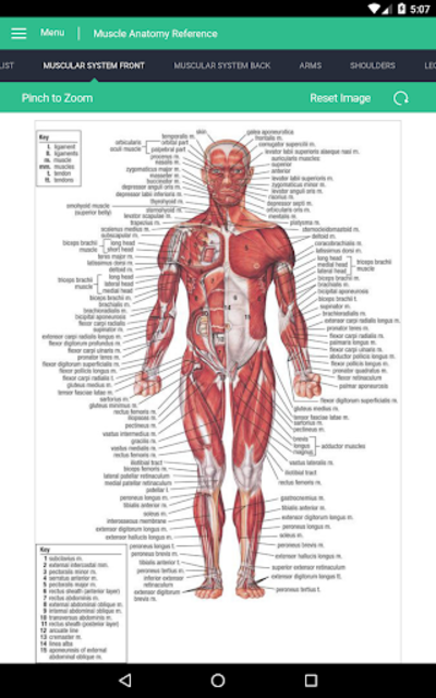 Muscle Anatomy Reference Guide screenshot 17