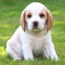 Icon for Cute Dogs Slideshow & Wallpapers (HD)